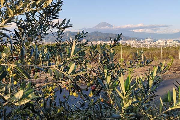 olive-farm-isokoma