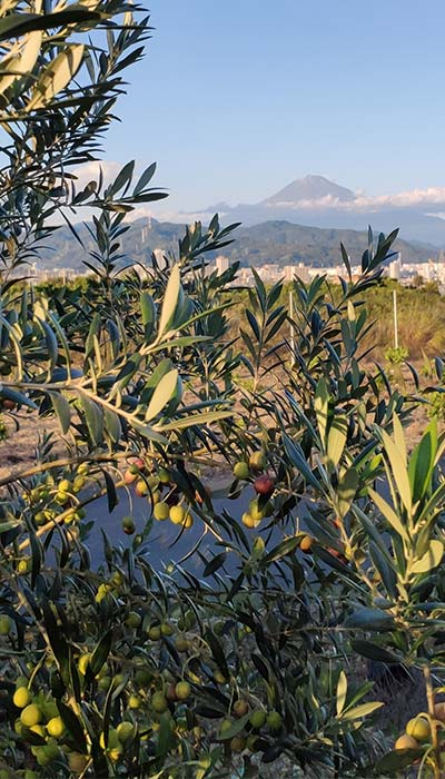 ISOKOMA Nori Olive Farm