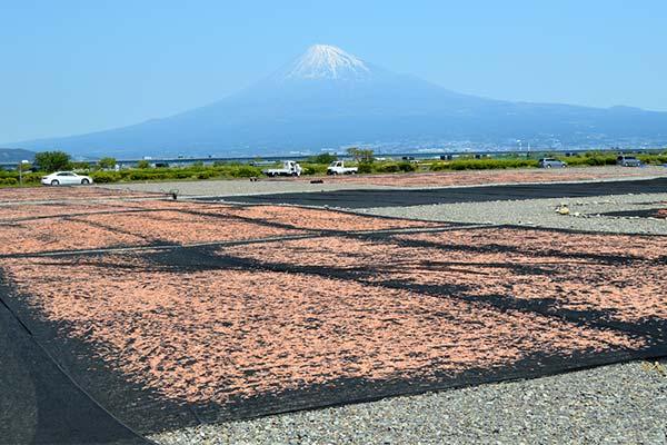 Sakuraebi 2